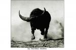 buffalo-bull