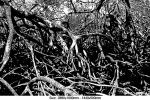 mangrove-forrest