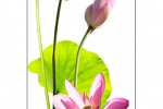 lotus-garden-vert
