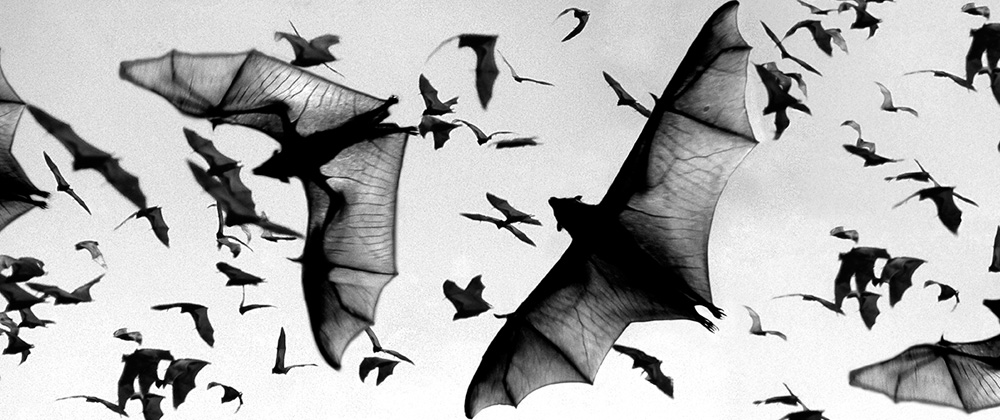 flying foxes twilight